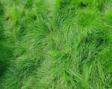Fairy Garden Fairy Grass Fine Feathery Fescue Grass - 500 Seed