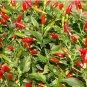 HOT! Heirloom Chili Pepper 'Tabasco' Capsicum frutescens - 30 Seeds
