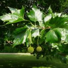 Sycamore Buttonwood Planetree Platanus occidentalis - 50 Seeds