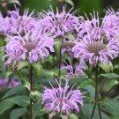 Bee Balm Wild Bergamot Monarda fistulosa - 100 Seeds