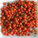 Rare Heirloom Organic Wild Tomato Solanum pimpinellifolium – 25 Seeds