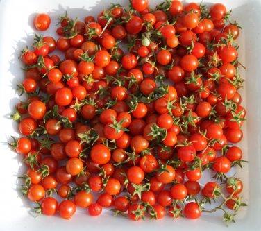 Rare Heirloom Organic Wild Tomato Solanum pimpinellifolium - 25 Seeds