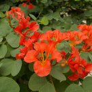 Exotic African Red Orchid Bush Pride of De Kaap Bauhinia galpinii punctata - 5 Seeds