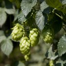 Organic Heirloom Beer Hops Humulus lupulus - 20 Seeds