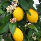 Special! Meyer Lemon Citrus x Meyeri Large Fruit - 10 Seeds