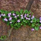Fairy Garden Unusual Kenilworth Ivy Cymbalaria muralis - 100 Seeds