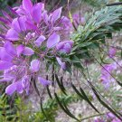 Sale! Exotic Spider Flower Cleome hassleriana 2 for 1 - 100 Seeds