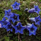 Blue True Alpen Enzian Gentian Gentiana acaulis - 50 Seeds