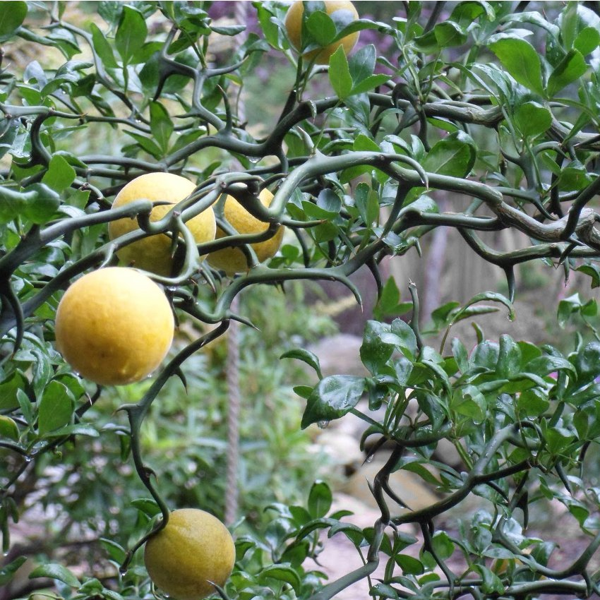 Rare Cold Hardy Citrus Corkscrew Flying Dragon Trifoliate Orange Poncirus trifoliata- 5 Seeds