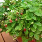 Heirloom Strawberry Plant Fragaria vesca Alexandria - 50 Seeds