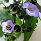 Shoo-Fly Plant Nicandra physalodes - 30 Seeds