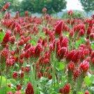 Scarlet Red Wild Crimson Clover Trifolium incarnatum - 500 Seeds