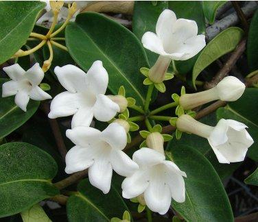 White Madagascar Jasmine Marsdenia floribunda - 10 Seeds