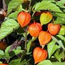 Winter Cherry Paper Lantern Physalis alkekengi Franchetii -  75 Seeds