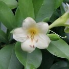 Rare Exotic Perfume Flower Tree Fagraea Ceilanica - 25 Seeds