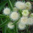 Bulk Button Willow White Buttonbush Cephalanthus occidentalis - 1000 Seeds