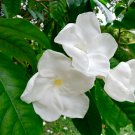 White Milky Way Tree Rare Lechoso Tabernaemontana litoralis - 20 Seeds