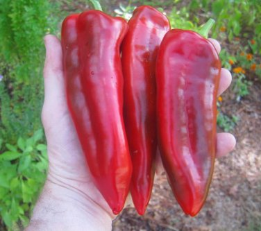 Giant Marconi Sweet Pepper Capsicum annuum - 25 Seeds