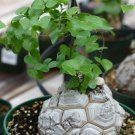 Caudex Elephant Foot Dioscorea Elephantipes Caudiciform Rare - 5 Seeds