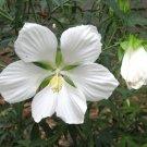 White Texas Star Hibiscus coccineus 'Alba'- 8 Seeds
