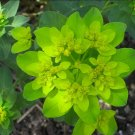 Cushion Spurge Chartreuse Euphorbia polychroma - 15 Seeds