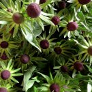 Unusual Rudbeckia 'Green Wizard' Rudbeckia Occidentalis - 20 Seeds