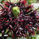 Black Swan Fringed Poppy Papaver Somniferum Laciniatum  - 50 Seeds