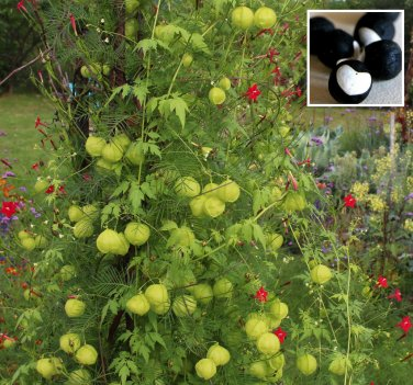 Rare Heart Seed Balloon Vine Cardiospermum halicacabum - 12 Seeds