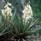 Fleshy Fruited Yucca Banana Yucca baccata - 20 Seeds