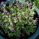 Fairy Garden 'Penny Black Eyes' Nemophila insignis var. menziesii - 50 Seeds