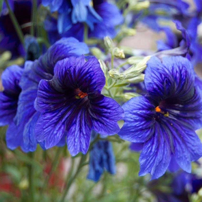 Rare Painted Tongue 'Blue Kew' Salpiglossis sinuata - 50 Seeds