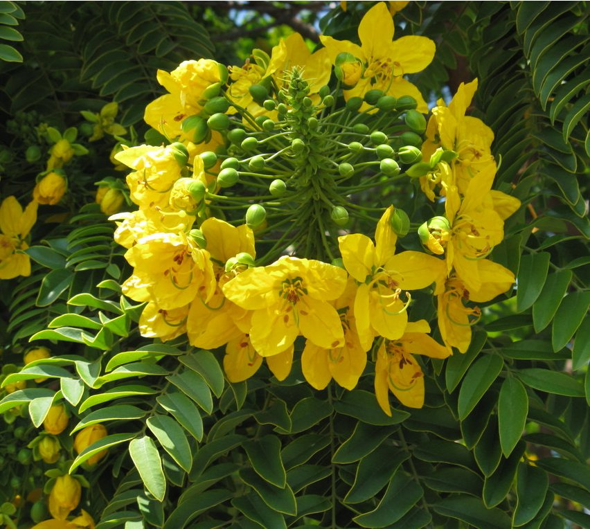 Rare Gold Medallion Tree Cassia leptophylla - 8 Seeds