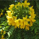 Rare Gold Medallion Tree Cassia leptophylla - 8 Seeds
