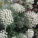 Rare Moon Carrot Seseli gummiferum - 20 Seeds