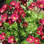 Fairy Garden Rockfoil Red Shades Saxifraga x arendsii  - 50 Seeds