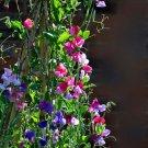Sweet Peas 'Royal Family' Lathyrus odoratus - 25 Seeds