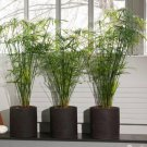 Tall Umbrella Sedge Tropical Bog or Houseplant Cyperus alternifolius - 200 Seeds