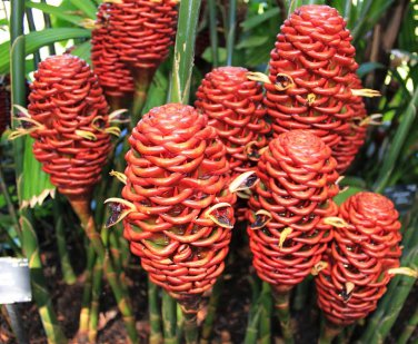 Rare Bee Hive Ginger Zingiber Spectabile - 5 Seeds