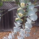 Tazmanian Florist Eucalyptus 'Baby Blue' Gum Rare Eucalyptus pulverulenta - 20 Seeds