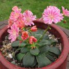 Fairy Garden Unusual Siskiyou Lewisia Cotyledon Mix  - 20 Seeds