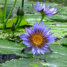 Sacred Egyptian Blue Waterlily Nymphaea Caerulea - 20 Seeds