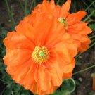 Double Spanish Poppy 'Tangerine Gem' Papaver rupifragum var. atlanticum - 50 Seeds