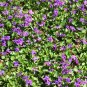 Edible Flowers Sweet Violet Viola Odorata - 50 Seeds