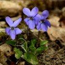 Fairy Garden Sweet Violet Queen Charlotte Viola Odorata - 50 Seeds