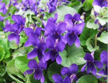 Wild Sweet Violet Viola Odorata - 50 Seeds