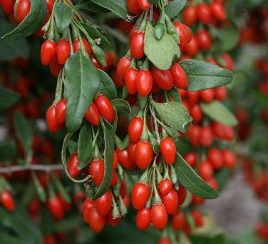 Himalayan Goji Berry Lycium barbarum - 25 Seeds