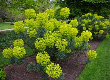 Dramatic Tall Mediterranean Spurge Chartreuse Euphorbia Characias wulfenii  - 15 Seeds