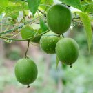 Rare Arhat Monk Fruit Luo Han Guo Siraitia Grosvenorii - 10 Seeds
