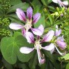 Orchid Phanera Fairy Vine Bauhinia corymbosa - 8 Seeds
