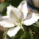 White Hong Kong Orchid Tree Bauhinia variegata candida alba - 10 Seeds